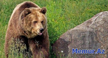Polşalı turisti Ermənistanda ayı parçaladı